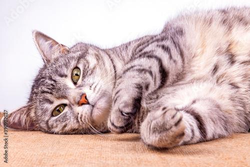 Fotografija Playfull fluffy cat lies on the sofa and look around herself