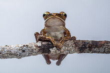 Common Tree Frog, Four-lined Tree Frog, Golden Tree Frog Or Striped Tree Frog, Polypedates Leucomystax
