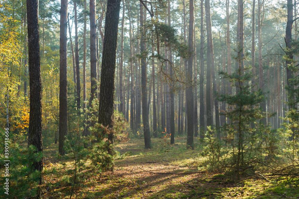 Fototapeta Jesienny las sosnowy, światło poranne
