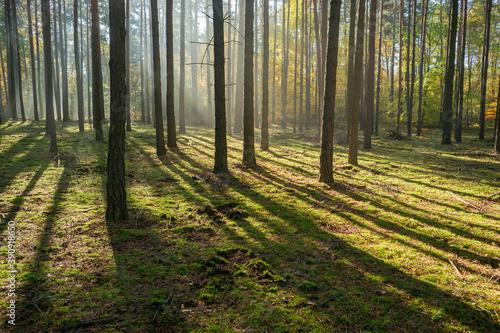 Jesienny las sosnowy, światło poranne - fototapety na wymiar