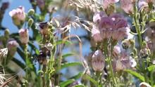 Pink Glandular Trichomatous Inflorescence Of Striped Beardtongue, Penstemon Grinnellii, Plantaginaceae, Native Herbaceous Perennial In The San Bernardino Mountains, Transverse Ranges, Summer.