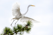 Great White Egret On A Pine Tr...