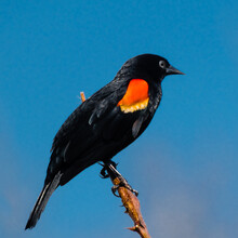 Red Winged Blackbird On A Twig...