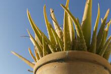 Aloe Vera Plant In A Pot