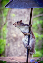 Grey Squirrel Hangs On To A Me...