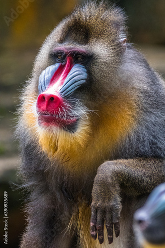 Tela the mandrill monkey in safari park