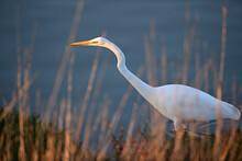 Great Egret Walking Along The Lake Shore