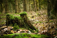 Old Weathered Tree Stump Overgrown With Green Moss In An Autumnal Spruce Forest - Some Leaves On The Ground