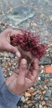 A Brown Indian Hand Holding Beautiful Unusual Seaweed On The Rock