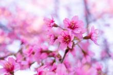 Beautiful Cherry Blossom, Prun...