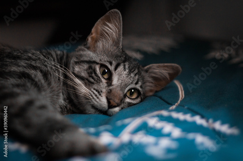 Fényképezés Joven gato gris atigrado