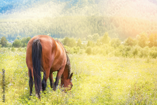 Fotografiet Lone horse grazes in mountains on sunny day.