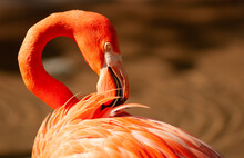 American Flamingo Up Close Preening By Water
