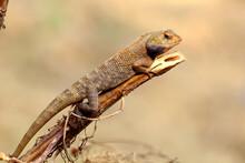 Chameleon Resting On Dry Wood