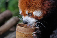 Red Panda In Zoo