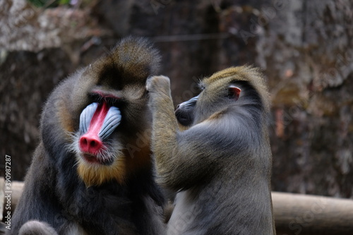 Papel de parede The mandrill is a primate of the Old World monkey family.