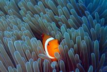Clown Fish Hidding In His Anem...