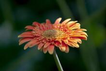 A Gerbera Daisy Flower - Barberton Daisy, Transvaal Daisy, Gerbera Jamesonii.