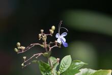 The Flower Of Impatiens Mysorensis Heyne Ex Roth