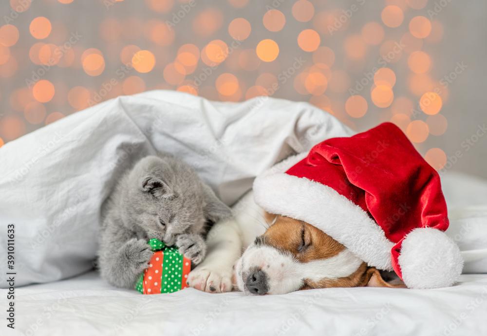 Fototapeta Sleepy Jack russell terrier puppy wearing santa's hat and playful kitten lie together under white warm blanket on festive background