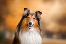 Collie Dog Walk In The Autumn ...