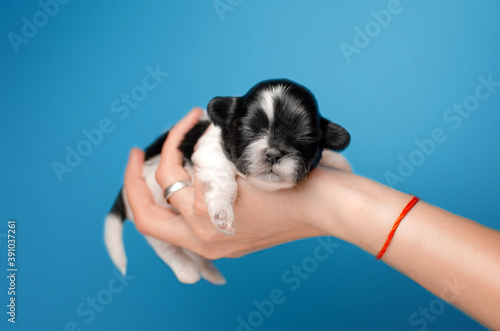 Canvastavla photoshoot newborn puppies cute shih tzu affection lovely background