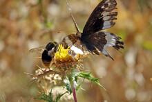 Fleur De Chardon Séchée En Pleine Montagne Corse