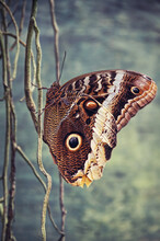 Giant Owl Butterfly Perching On Aerial Roots Of Tropical Plant
