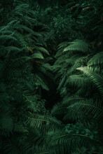 Ferns In The Forest, Bali. Bea...