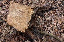 Uprooted Stump From The Ground...