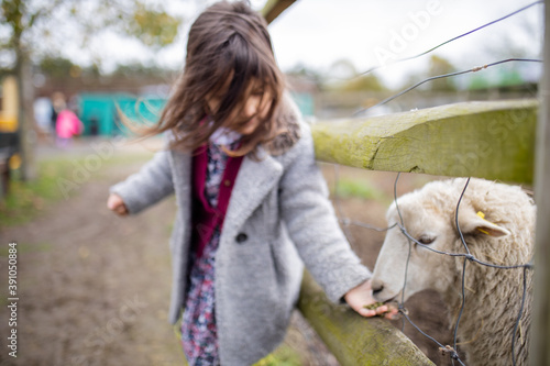 Fototapeta Little girl feeding a white lamb that sticks its snout out of a wire fence obraz