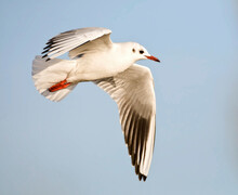 Kokmeeuw, Black-headed Gull, Chroicocephalus Ridibundus