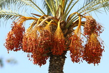 A Rich Harvest Of Ripe Dates On A Palm Tree In A City Garden In Northern Israel