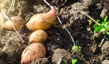 Freshly Dug Potatoes Lie On Loose Soil. Harvesting. Gardening And Farming. Fresh Organic Vegetables, Ecological Agricultural Food Products. Agricultural Production. Agribusiness. Harvest Campaign.