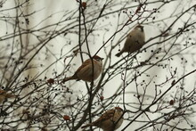 Brown Ruffled Sparrows Sit In A Bush Among Bare Branches And Dry Black Berries Against A Cloudy Sky On An Autumn Day. Eurasian Tree Sparrows Are Sitting In A Bush With Black Berries. Passer Montanus.