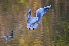 Seagull, Mallard, Duck In The ...