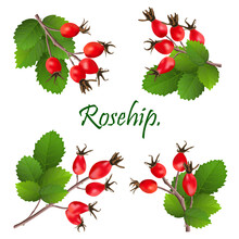 Branch With Rosehip Or Dog Ros...