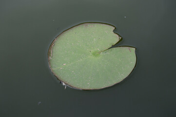 big leaf of water lily isolated on background of dark water of a pond