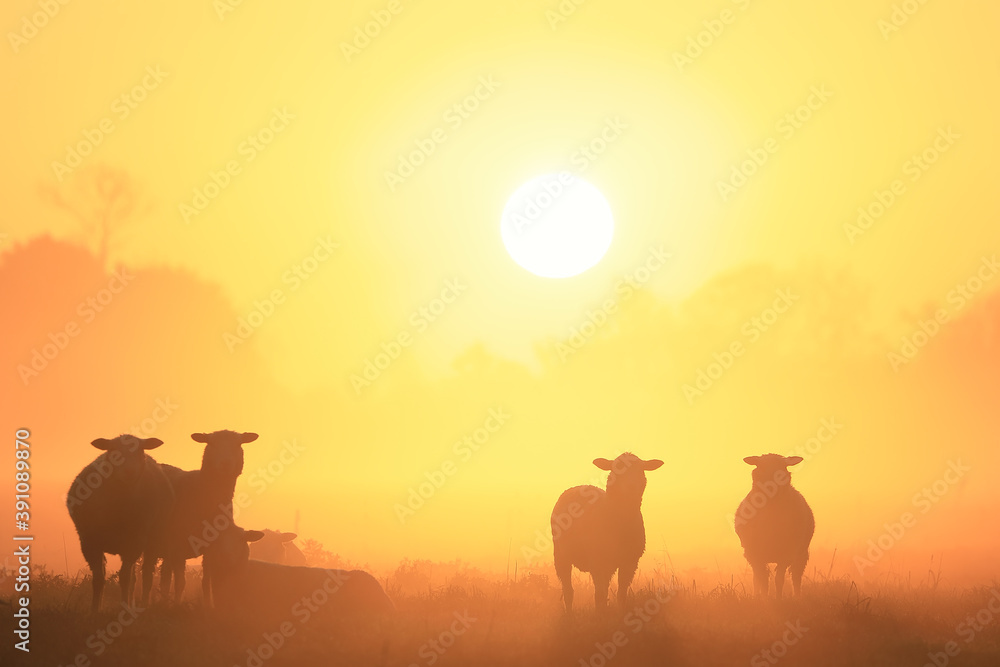 Fototapeta sheep silhouettes in fog at sunrise