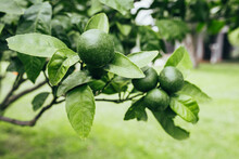 Juicy Ripe Green Limes On A Tr...