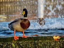 Male Mallard And Fountain