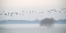 Flock Of Geese Over Hazy Grass...