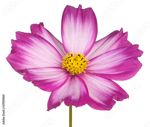 cosmos flower isolated Fototapeta