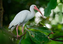 American White Ibis - Eudocimus Albus White Bird With Red Beak And Legs In Family Threskiornithidae, From Virginia Via Gulf Coast Of The United States Through Most Of The Coastal New World Tropics