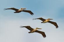 Brown Pelican - Pelecanus Occi...