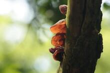 Uszak Bzowy, Auricularia Auric...