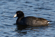 American Black Coot Floats Alo...