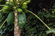 Heathy Papaya Fruit Growing Nicely