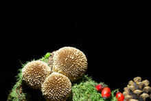 Mushrooms On The Dark Background On The Wood Overgrowned By Moss. Mushroom Species Is The Spiny Puffball Also Known As Spring Puffball. Latin Name Is Lycoperdon Echinatum. Eldible  But No Good Quality