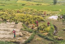 Namo Buddha, Nepal - September 20, 2020: Nepali Farmers In Field Harvesting Rice Crops. Rice Harvest Season, Local Women In Nepal Working In The Field